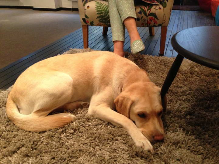 An image of my guide dog Unity laying down